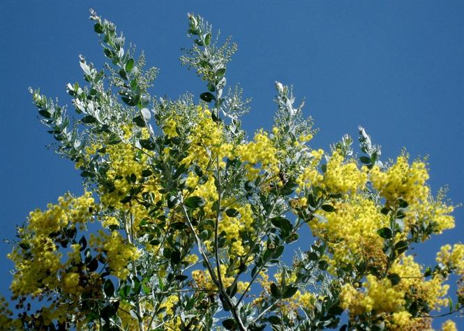 7 loài hoa thân gỗ độc đáo ở Đà Lạt
