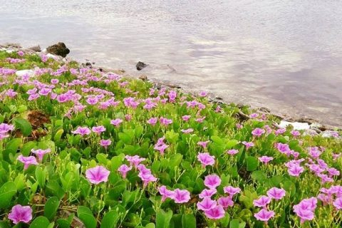 Ngỡ ngàng với vẻ đẹp hoa muống biển tại đảo Lý Sơn | Phượt Đảo Lý Sơn | Tư  vấn Du Lịch, Nhà Nghỉ, Khách Sạn, Homestay