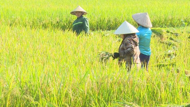 Nông dân xã Đồng Lương khẩn trương thu hoạch lúa vụ chiêm xuân - Trang  thông tin điện tử Huyện Lang Chánh - tỉnh Thanh Hóa