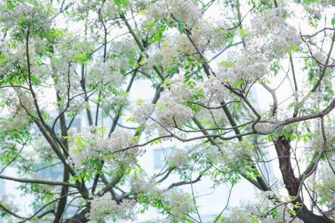 Bật Mí Ý Nghĩa Thực Sự Của Hoa Xoan【Hoabamien】