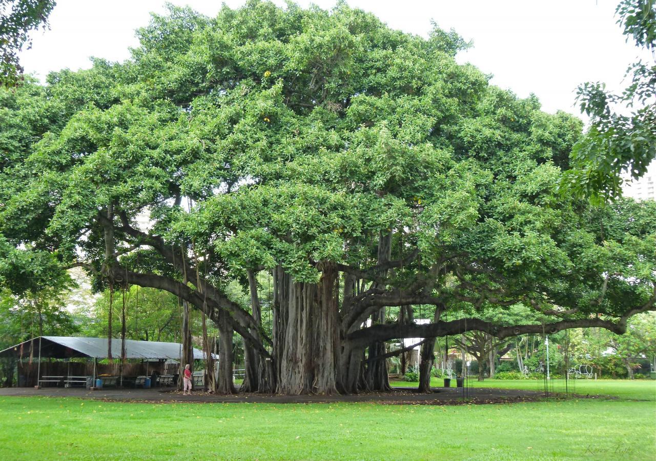 CÂY ĐA ĐẠI THỤ - Vườn cây xanh Hà Đông 0986024688