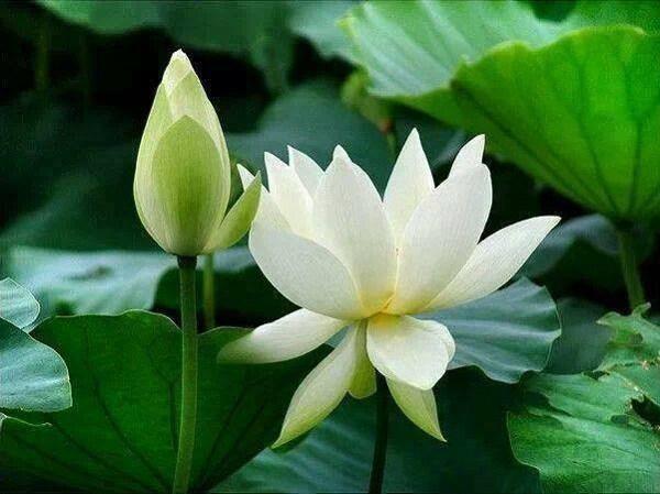 Cách trồng hoa sen trắng đơn giản mà hiệu quả, chắc chắn ra hoa