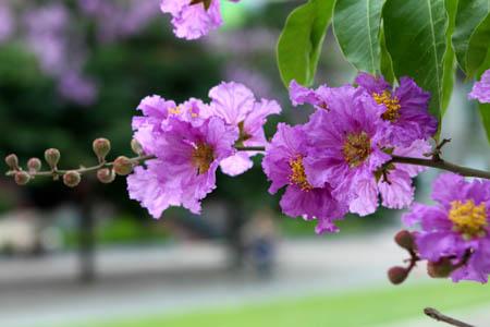 Góc đường có hoa bằng lăng - Báo Gia Lai điện tử - Tin nhanh - Chính xác