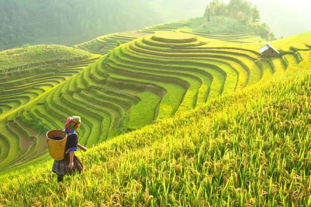 Tổng hợp hình ảnh cánh đồng lúa đẹp nhất - Kho ảnh đẹp
