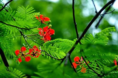 Hình ảnh hoa Phượng đẹp rực rỡ khi mùa Hè đến