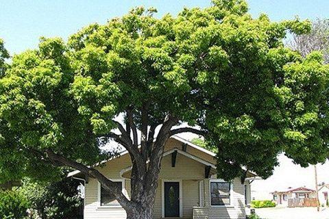 Làm đẹp không gian sống với cây bóng mát ít rụng lá | Bất động sản
