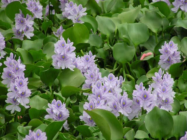Pontederiaceae : Họ Lục bình