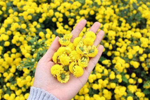 Chùm Thơ Hay Viết Về Loài Hoa Cúc Dại & Mùa Thu Thật Đẹp