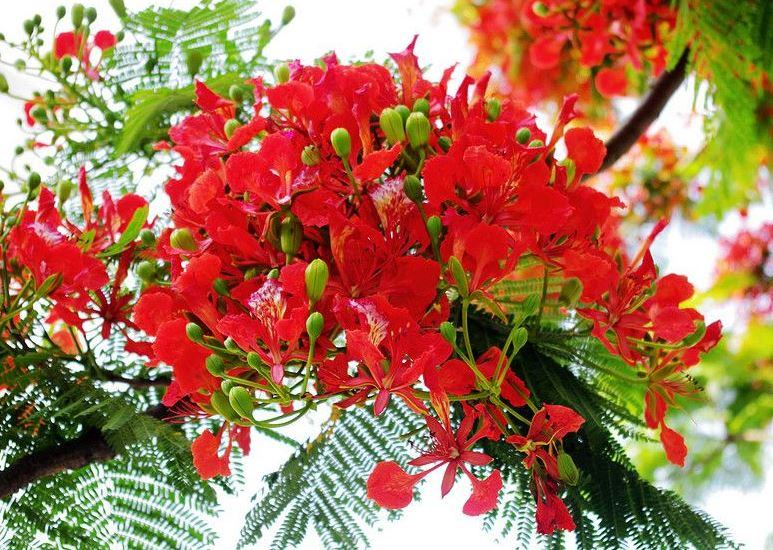 Hoa Phượng đỏ - Loài Hoa Của Tuổi Học Trò đầy Mộng Mơ Và Trong Sáng - Báo  Khuyến Nông