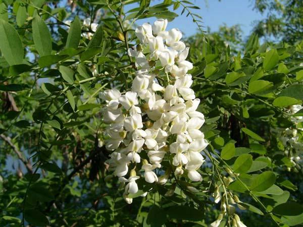 Cây hoa hòe | Hoala.vn - hoa quý