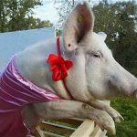 Ma lợn