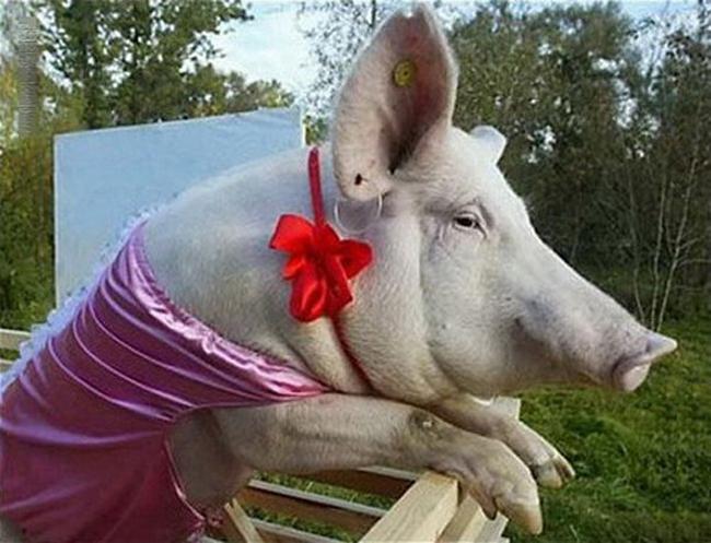 Ôi giời, lợn gì mà nhìn như con... heo vậy