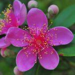 Thương về màu tím hoa sim